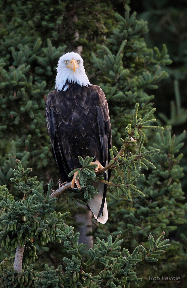 Bald Eagle by Rob Lavoie