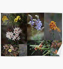 Collage of Wild Flowers found in the Conimbla National Park NSW Australia Poster