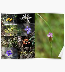 Wildflowers all found in Conimbla National Park NSW Australia Poster