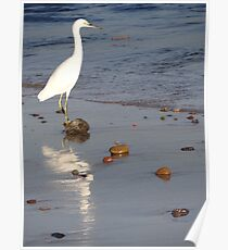 White heron in the delta of the River Cuale Poster