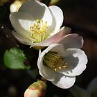 Flowering Quince by genez
