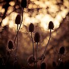 Teasels by Jay Taylor