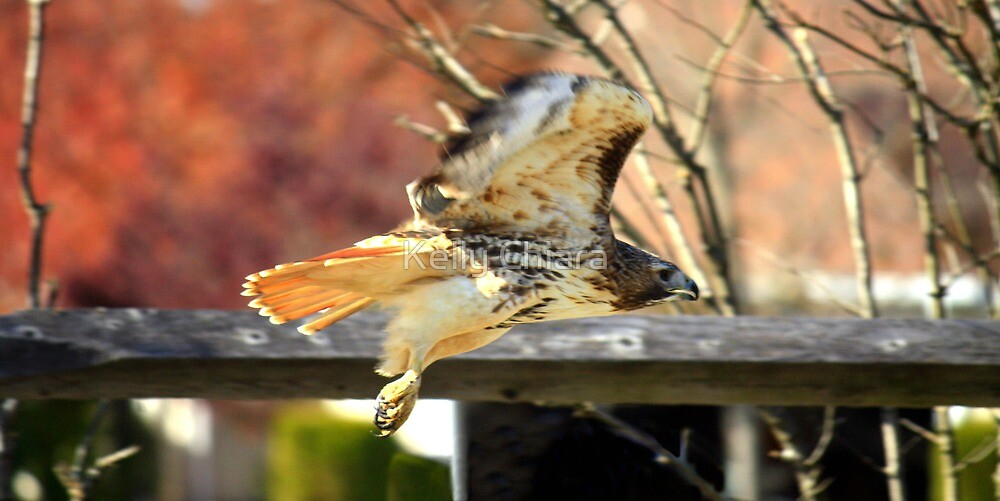 Red-Tailed Hawk by Kelly Chiara