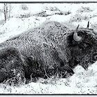 Northern Woodland Buffalo by peaceofthenorth