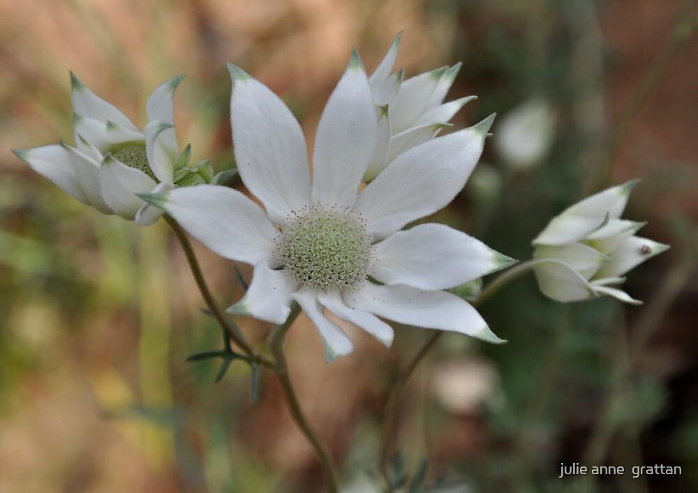 Flannel flower 1 by julie anne  grattan