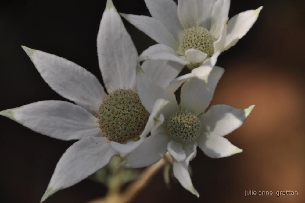 Flannel Flower 5 by julie anne  grattan