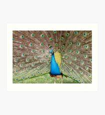 Peafowl Art Print