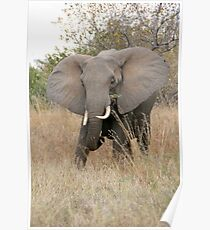 African Elephant 2 Poster