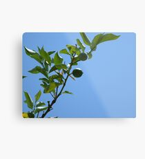 Premature lemon tree Metal Print