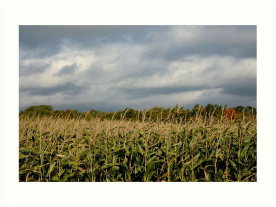 Windy Cloudy Corn Field of PEI by nadinestaaf