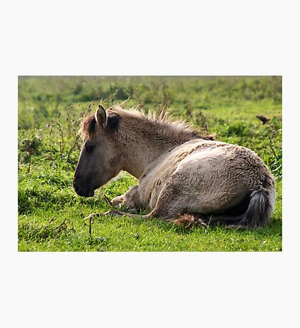 Born Wild & Free - Konik Foal Photographic Print