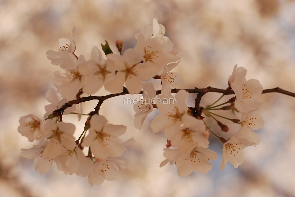 sakura season by mellychan