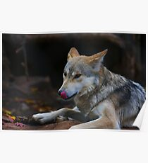 A Hungry Wolf Poster