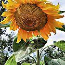 Sunflower Beauty by shellyb