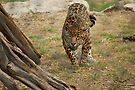 Leopard at Austin Zoo by Cathy Jones