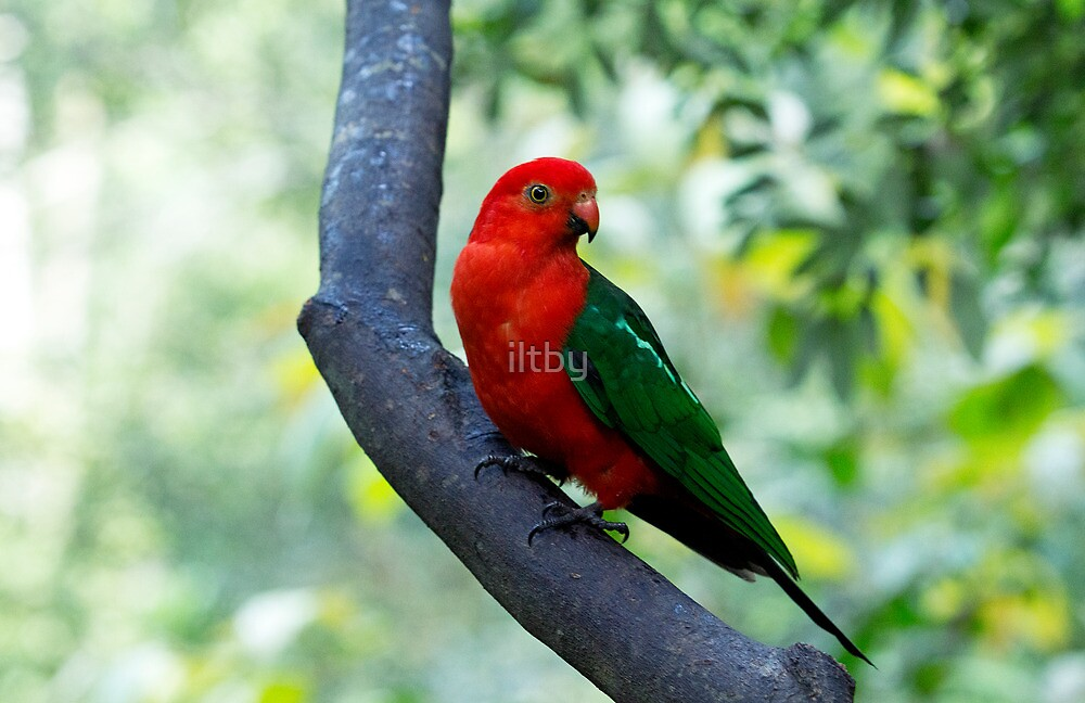 Curious King Parrot I by iltby