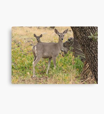 Coues White-tailed Deer ~ Madera Canyon Canvas Print