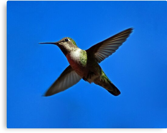 Humming Bird in Flight by Phil Campus