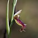 ~ Bearded Orchid ~ by LeeoPhotography