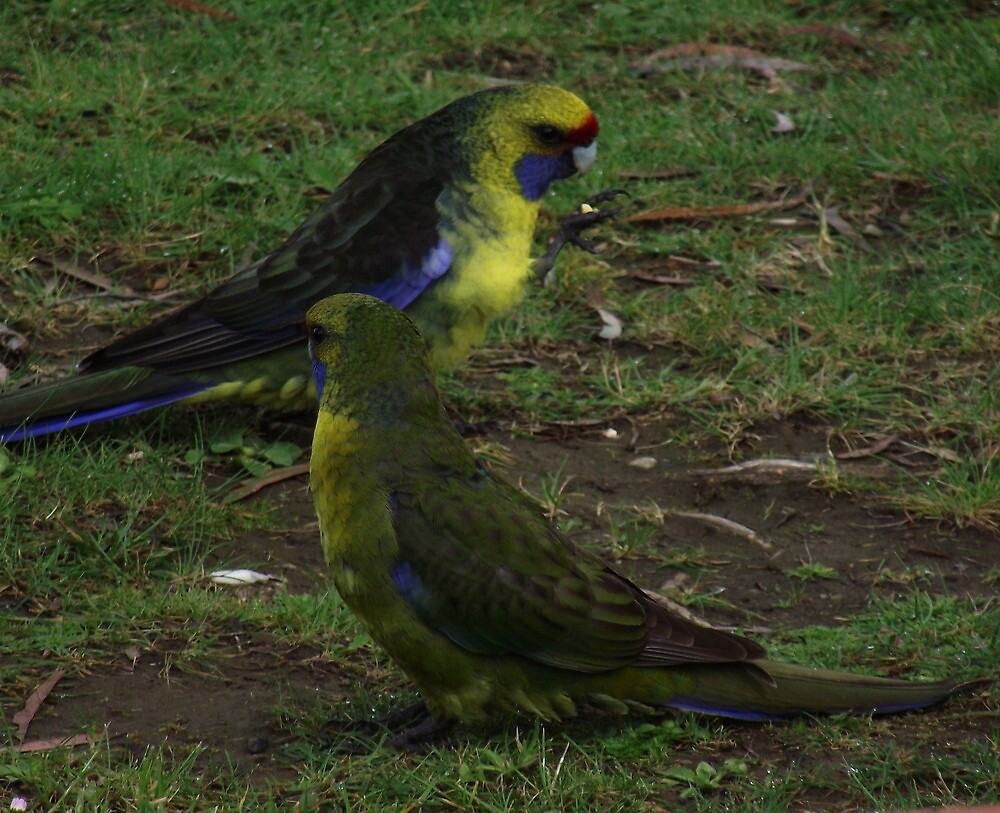 two parrots at Tullah by gaylene