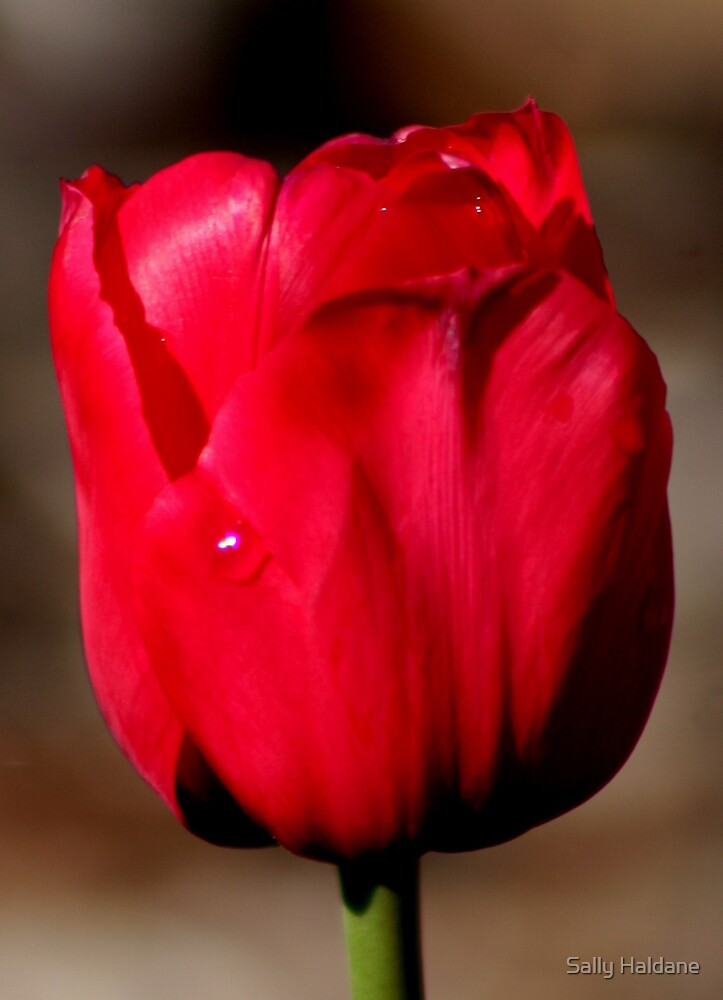 Red Beauty by Sally Haldane