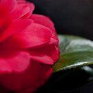Camellia rouge by Stephen Denham