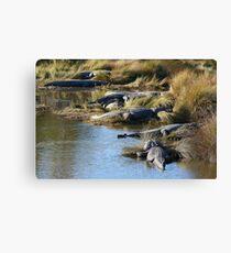 Alligators Abound Canvas Print