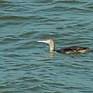 Red-Throated Diver by Robert Abraham