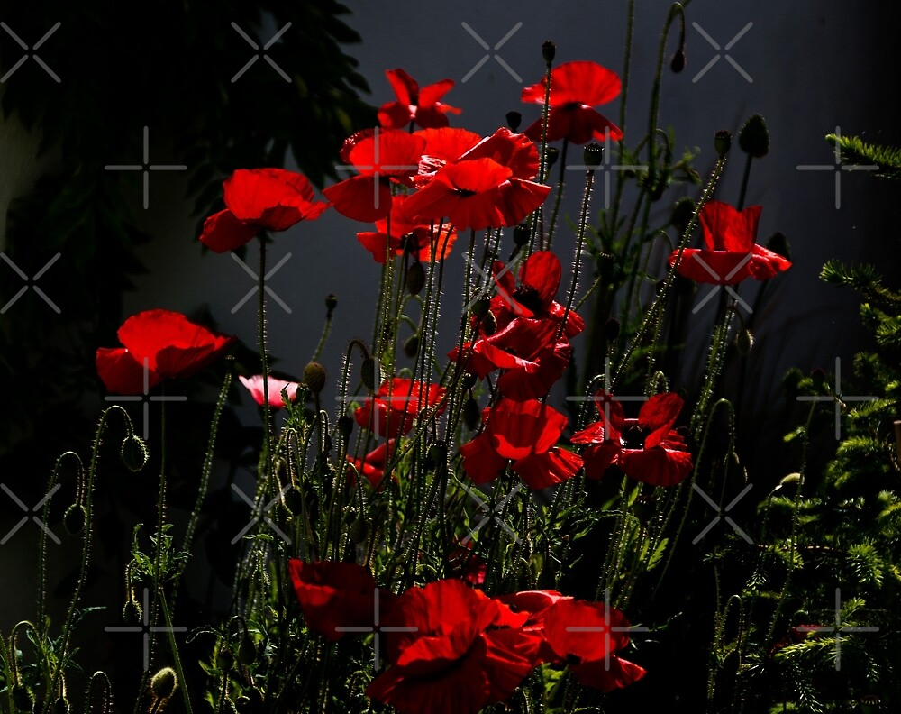 Rockery Poppies by Country  Pursuits