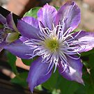 Purple Clematis Flower on Trellis  by Paula Betz