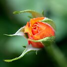 Rose Bud by cathywillett