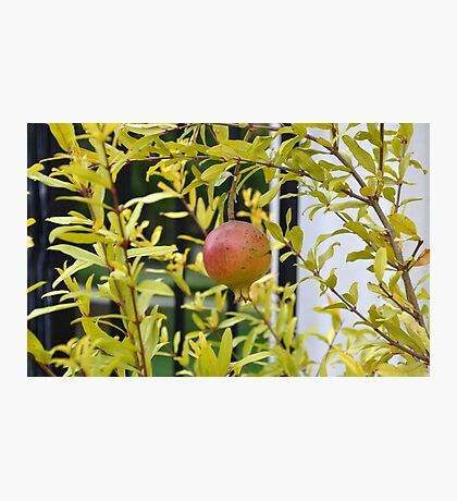 Pomegranate Growing in a Garden Photographic Print