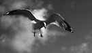 Seagull in Flight 2 (Black and White) by Corri Gryting Gutzman