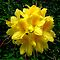 BEAUTIFUL YELLOW RHODODENDRONS- 20.00 Voucher for July