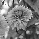 Gentle Flower by Chris Samuel