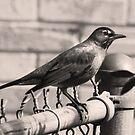 Robin by Fence Post by Jay Reed