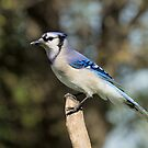 Blue Jay by Wayne Wood