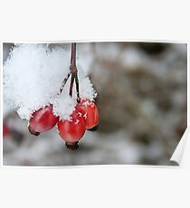 Guelder Rose Berries in the Snow Poster