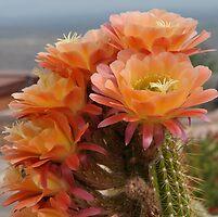 cactus flowers by AZLiane