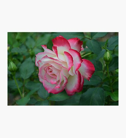 Pink and White Rose Photographic Print