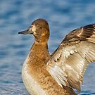 Flapping Scaup by Daniel  Parent