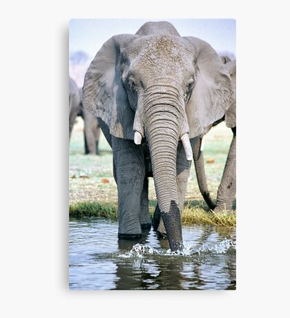 Thirst On The Chobe River Canvas Print