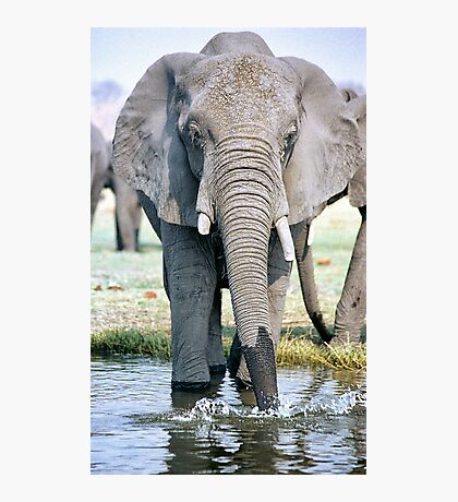 Thirst On The Chobe River Photographic Print