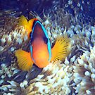 Clown Fish by tracyleephoto