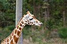 Giraffa camelopardalis by Jason Asher