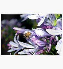 Bee Amongst the Agapanthus II Poster