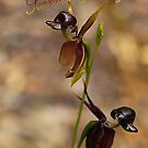 Flying Duck Orchid - Season's Greetings by Bev Pascoe