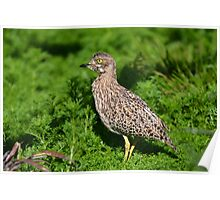 Spotted Thick-knee (Gewone Dikkop) Poster