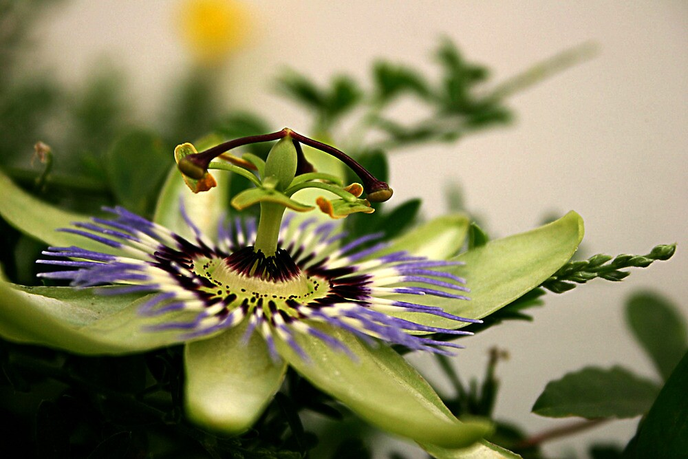 Passion flower by Kate Fortune