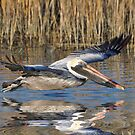 Pelican Skimming Over The Marsh by Kathy Baccari